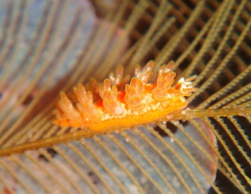 マツカサウミウシ属の1種−1