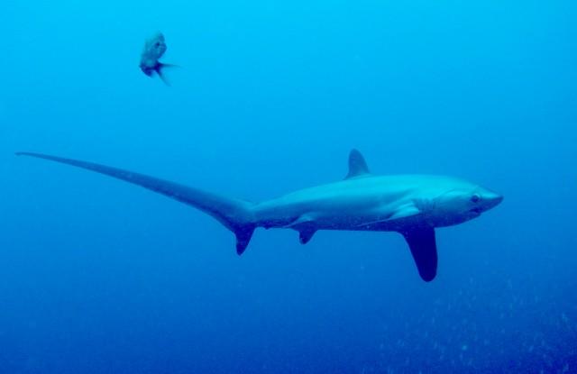 オナガザメ | IDC Pedia