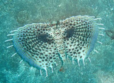 胸鰭の模様